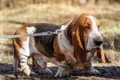 Cão de Basset, uma raça de cães do lebreiro, produzida em Inglaterra imagens de stock royalty free