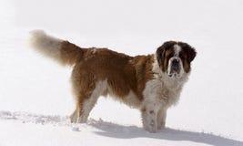 Cão de Bernard de Saint Foto de Stock Royalty Free