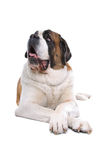 Cão de Bernard de Saint Foto de Stock