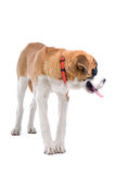 Cão de Bernard de Saint Imagem de Stock Royalty Free