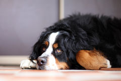 Cão de Berner Sennenhund Fotos de Stock
