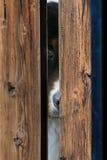Cão de Bernese atrás da cerca Fotografia de Stock Royalty Free