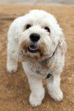 Cão de Bichon Frise para fora para uma caminhada foto de stock royalty free