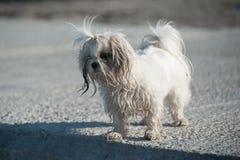 Cão de Bichon no cais Imagem de Stock Royalty Free