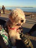 Cão de bocejo Fotos de Stock