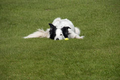 Cão de border collie com bola Imagens de Stock