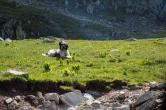 Cão de Briard Imagens de Stock