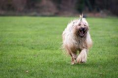 Cão de Briard Fotografia de Stock Royalty Free