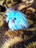 Cão de brinquedo pekingese minúsculo bonito imagens de stock