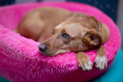 Cão de Brown foto de stock royalty free