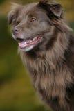 Cão de Brown Imagens de Stock