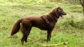 Cão de Brown Imagem de Stock