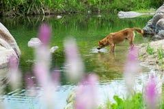 Cão de Brown Fotografia de Stock