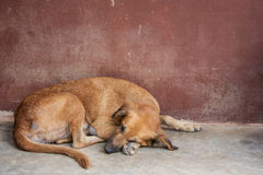 Cão de Brown Foto de Stock