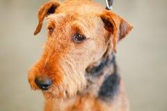Cão de Brown Airedale Terrier Fotos de Stock
