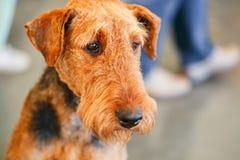 Cão de Brown Airedale Terrier Foto de Stock