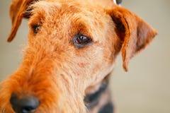 Cão de Brown Airedale Terrier Imagens de Stock