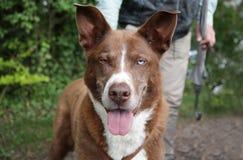 Cão de Brown com dois olhos fotos de stock royalty free