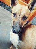 Cão de Brown com olho roxo Fotografia de Stock Royalty Free