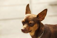 Cão de Brown dos olhos que olha algo interessante fotografia de stock royalty free