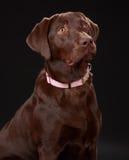 Cão de Brown Labrador foto de stock royalty free