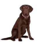 Cão de Brown Labrador imagem de stock