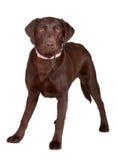 Cão de Brown Labrador imagens de stock royalty free