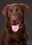 Cão de Brown Labrador Fotografia de Stock Royalty Free