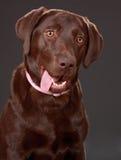Cão de Brown Labrador fotografia de stock