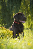 Cão de Brown Labrador Imagem de Stock Royalty Free