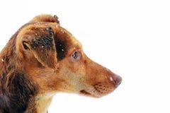 Cão de Brown na neve fotos de stock royalty free