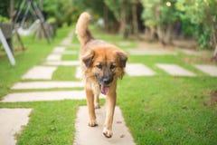 Cão de Brown que anda no parque fotos de stock