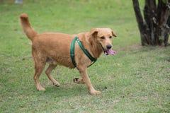 Cão de Brown que corre no jardim Imagem de Stock Royalty Free