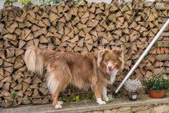 Cão de Brown que está na parede do jardim imagem de stock