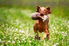 Cão de Brown Vipet Fotos de Stock