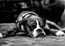 Cão de Bull Imagens de Stock Royalty Free