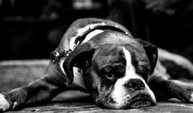 Cão de Bull Foto de Stock