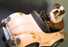 Cão de Bull no carro cor-de-rosa Imagens de Stock