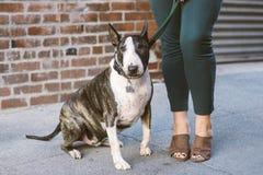 Cão de bull terrier ao lado dos pés fêmeas fotografia de stock royalty free