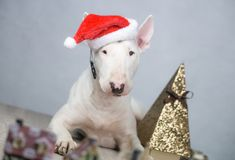 Cão de bull terrier com o chapéu de Santa no Natal foto de stock royalty free