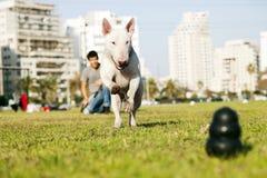 Bull terrier que funciona para o brinquedo da mastigação no parque Fotografia de Stock Royalty Free