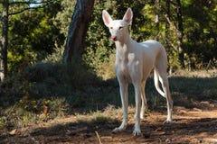 Cão de cão Fotos de Stock