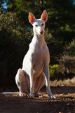 Cão de cão Foto de Stock Royalty Free