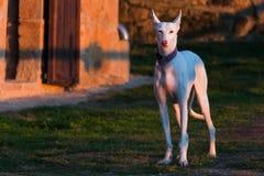 Cão de cão Imagens de Stock Royalty Free