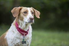 Cão de cão Imagens de Stock