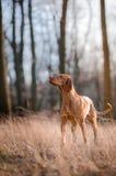 Cão de cão húngaro do ponteiro fotos de stock