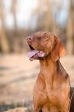 Cão de cão húngaro do ponteiro foto de stock royalty free