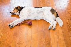 Cão de cão que estabelece no assoalho de folhosa Imagens de Stock Royalty Free