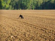 Cão de caça Foto de Stock Royalty Free