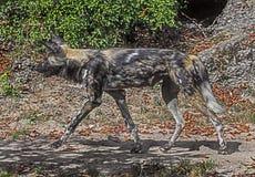 Cão de caça africano running foto de stock royalty free